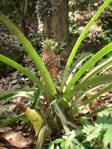 A tak proszę państwa, wygląda ananas w naturalnym środowisku.