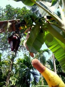 proces rozrodczy bananów