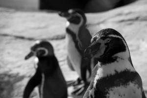 Mam plan taki, żeby Wam z moimi kumplami pingwinami spuścić wpierdol.